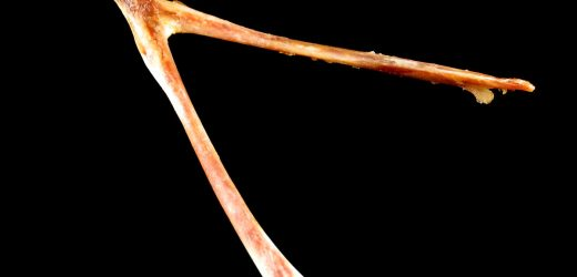 Everything You Need to Know About Breaking a Turkey Wishbone