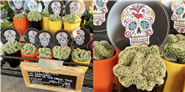 Trader Joe's Is Selling Mini Brain Cacti That Are So Easy To Take Care Of